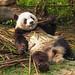 Chilling panda by RoiMarteau