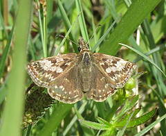Dingy Skipper Erynnis tages Tophill Low NR, East Yorkshire May 2018