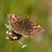 Dingy Skipper (Erynnis tages).