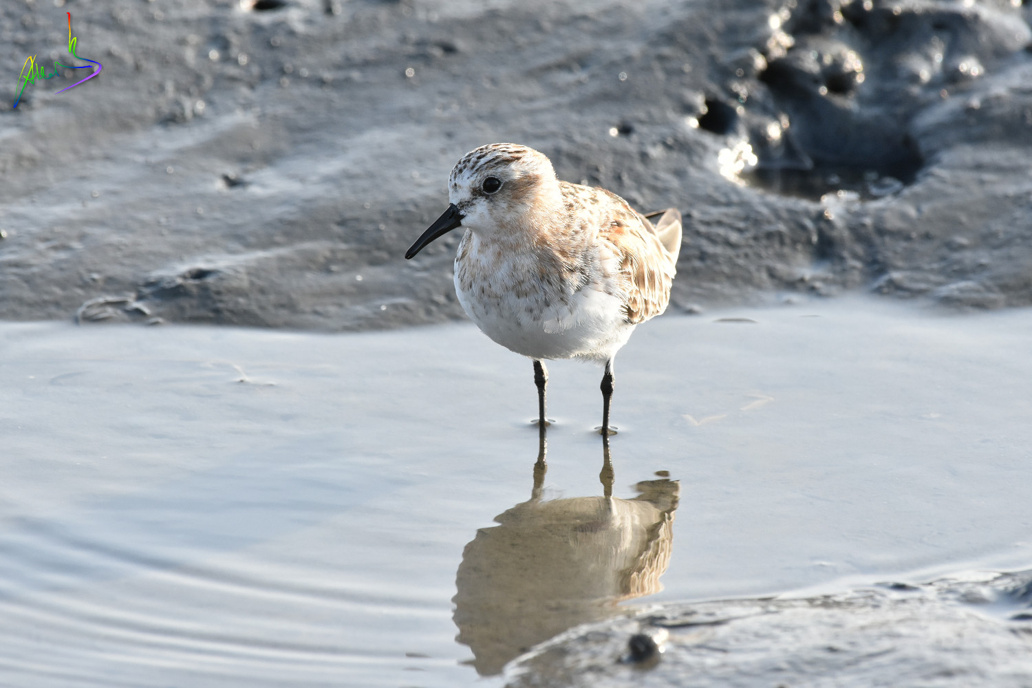 Red-necked_Stint_1701