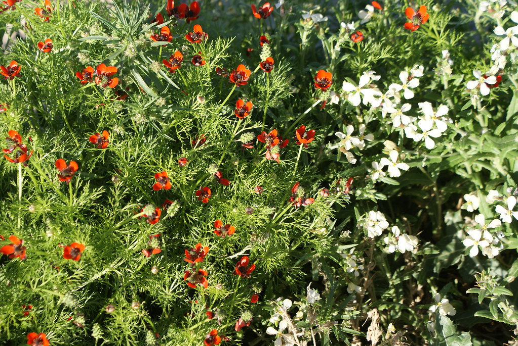> Fleurs des collines au nord de Fès.