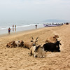 Cows in Calangute, Goa, India