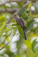 Psaltriparus minimus californicus