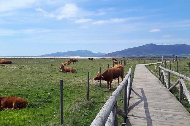a wooden boardwalk running beside Tarifa beach with cows in the field beside.