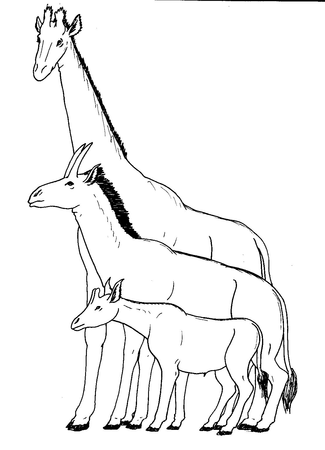 The extinct giraffid Samotherium (middle) in comparison with the okapi (below) and giraffe. The anatomy of Samotherium appears to have shown a transition to a giraffe-like neck.