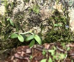 Tuberolabium guamense