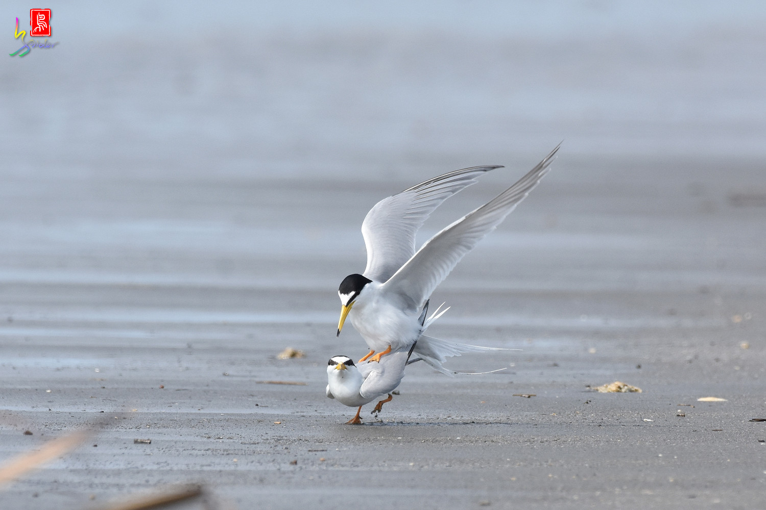 Little_Tern_4416