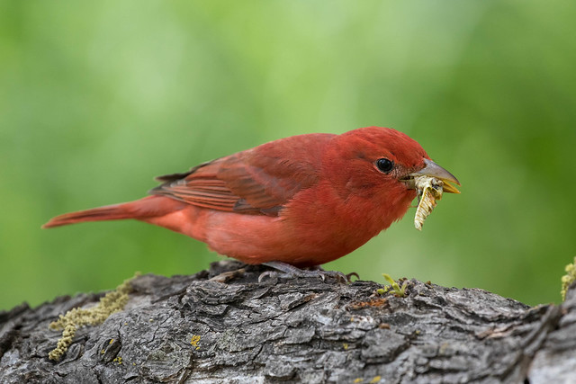 Summer Tanager with Grasshopper