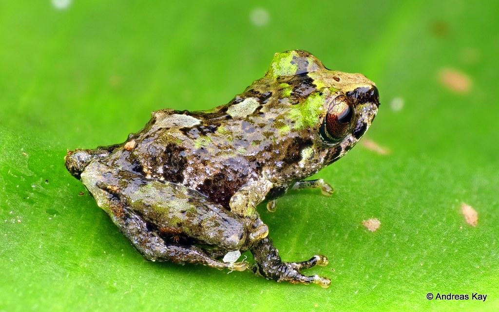 Pristimantis sp., juvenile