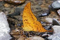 Butterflies and Moths of Thailand
