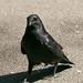 Carrion Crow  13