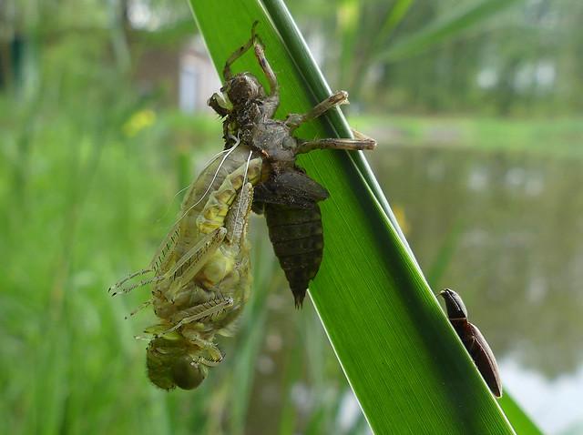 Viervlek sluipt uit larve