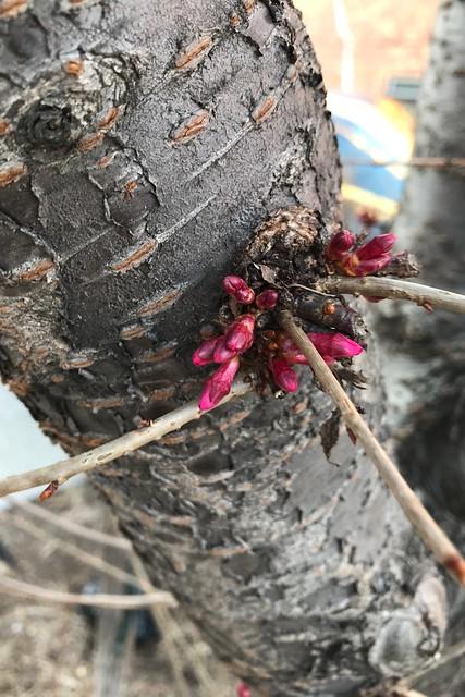 日, 2018-03-11 18:25 - Prunus Okame オカメザクラ