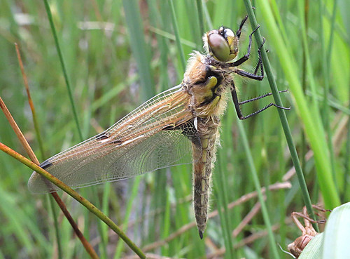 Four-spotted Chaser Libellula quadrimaculata Tophill Low NR, East Yorkshire May 2018
