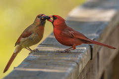 Male and Female Cardinal Sharing a Mulberry