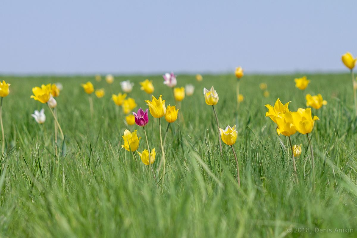 тюльпаны иваново поле фото 5
