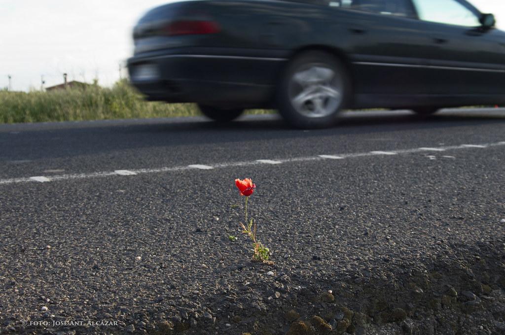 Amapola en la carretera