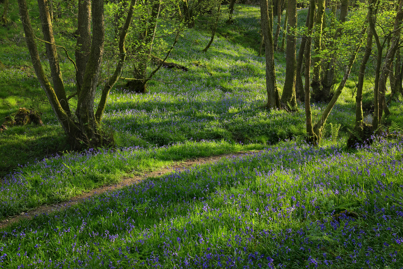 Sussex Bluebell Woodland