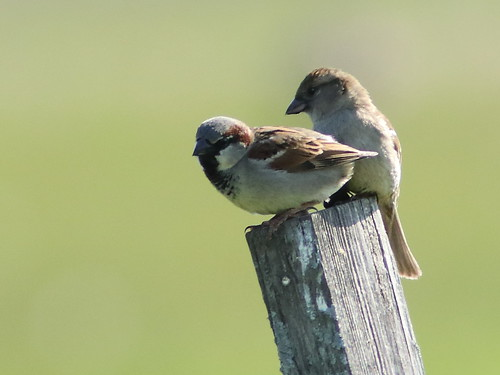 House Sparrows 04-20180516