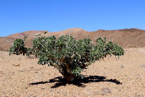 Monsonia crassicaulis