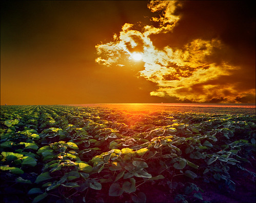 Young sunflower field