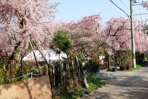 京都原谷苑