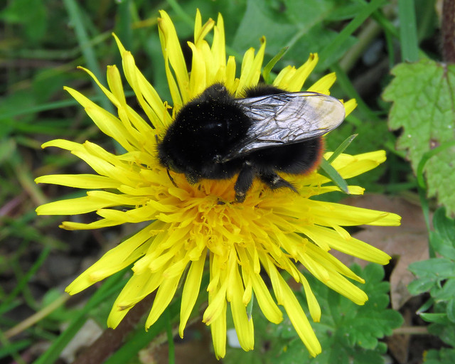Large Red-tailed Bumblebee - Bombus lapidarius