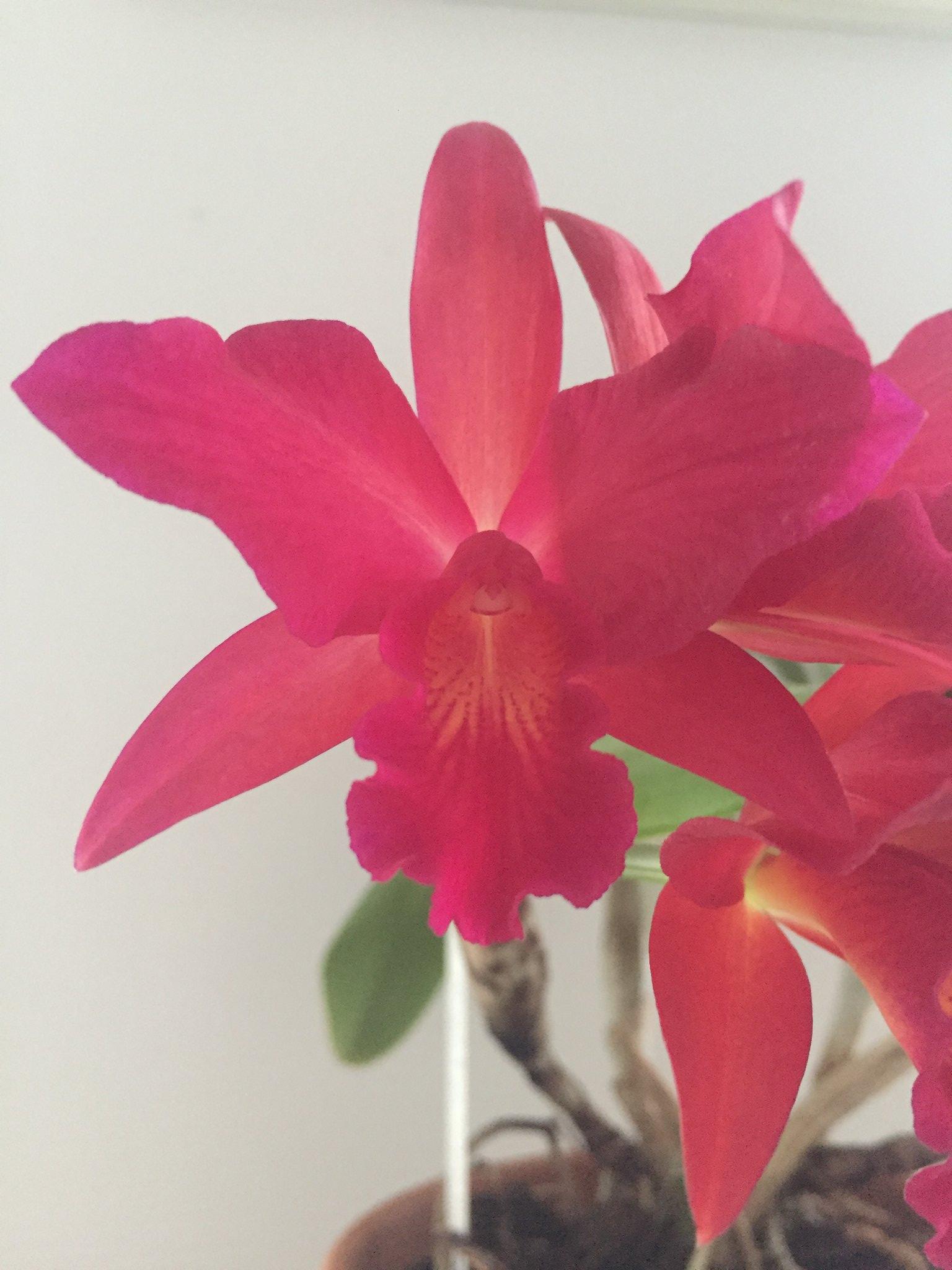 Cattlianthe Jewel Box 'Scheherazade' AM/AOS 40991268365_4c411c7459_k