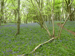 20180504_3 Bluebells on Timber Hill