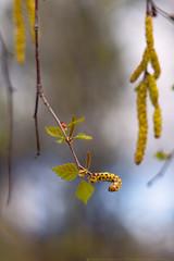 Birchpollen-hook