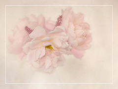 Pink roses high key