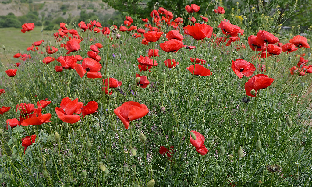 Poppies 02