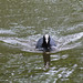Coot in Weald Country Park