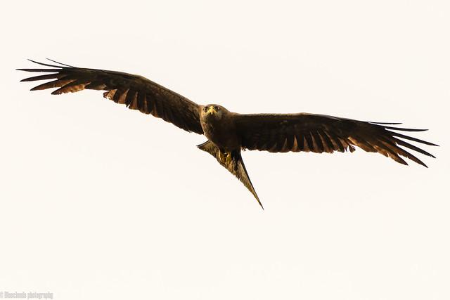 CHU_1431-3 (yellow billed kite)