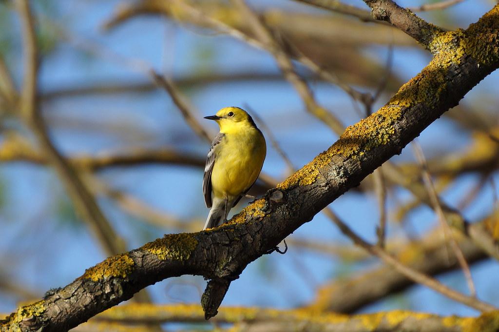 Желтоголовая трясогузка (Motacilla citreola) Автор фото - Привалова Марина
