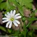 Greater Stitchwort Stellaria holostea