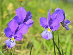 Viola declinata