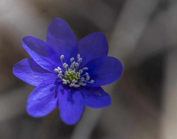 kukkiva sinivuokko kukka kevät hede