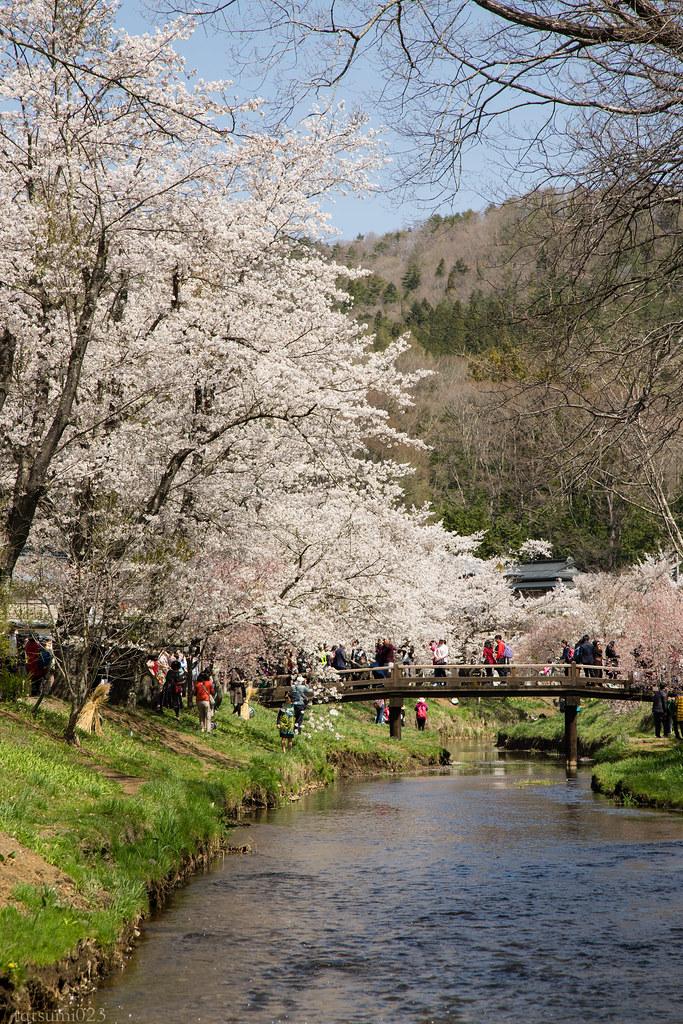 2018-04-13 忍野の桜 006