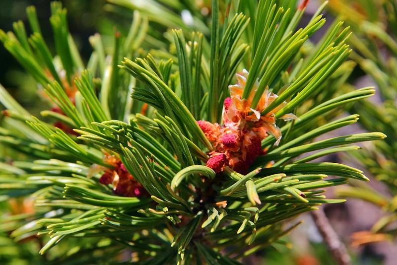 IMG_5058 Pollen Cone of Whitebark Pine