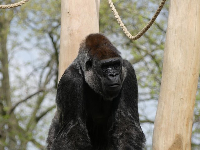 Gorilla Mpenzi, Zoo Berlin