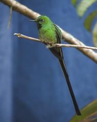 Green-tailed Trainbearer (Lesbia nuna)