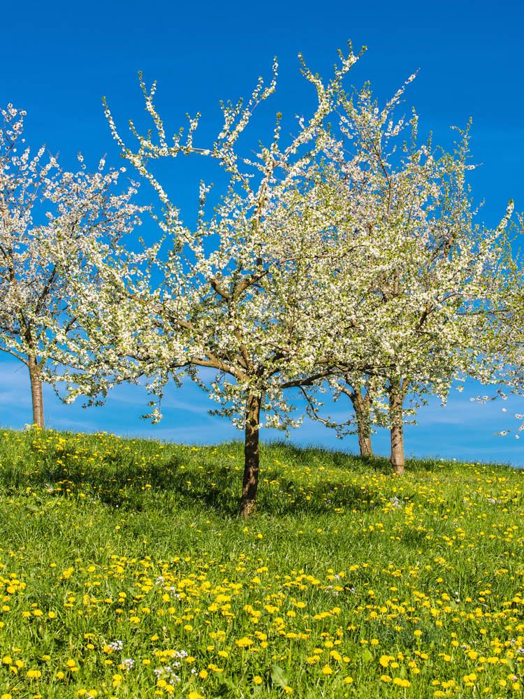 Kirschblüte_Eggenertal_2_037