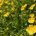 Yellow Meadow-foam/Limnathes douglasii ssp. sulphurea (rare and endangered)