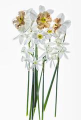 daffodils1a
