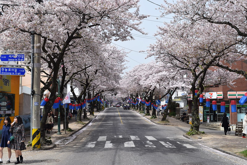 Jeju CHerry Blossoms (5)
