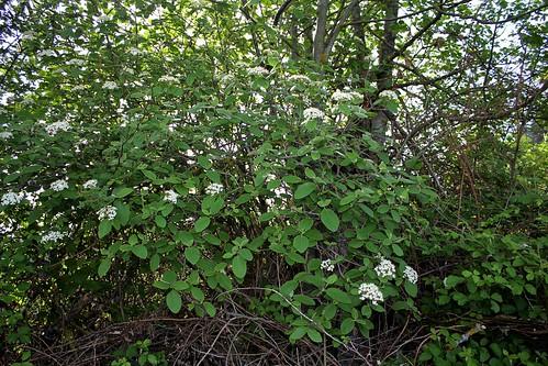 Viburnum lantana - viorne mancienne 28166215578_7d10fa6e72