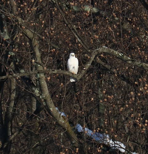 Red-tailed Hawk (leucistic)