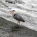 Heron River Dee