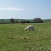 Llamas near Ingbirchworth